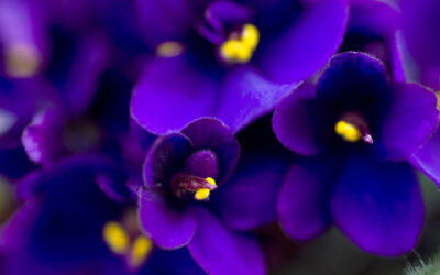 """Die """"African Violet Lady"""" – eine Geschichte von Milton Erickson"""