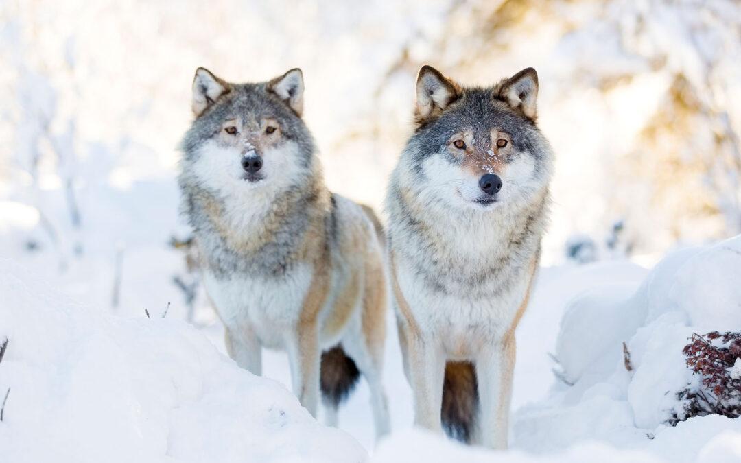 Die Parabel von den zwei Wölfen – eine Geschichte über Achtsamkeit